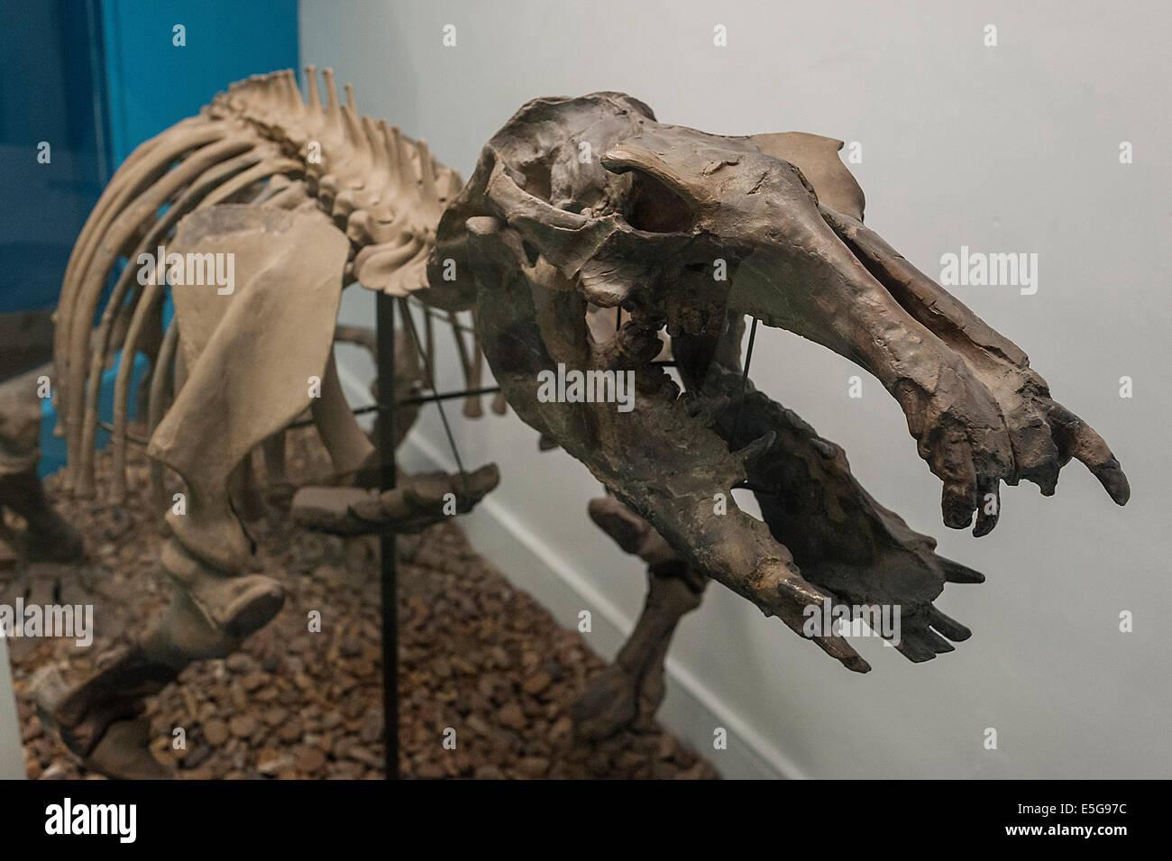 Cast of  skeleoon of aquatic hippo like Paleoparadoxia tabatai, Miocene, Honshu, Japan, extinct mammal - Stock Image