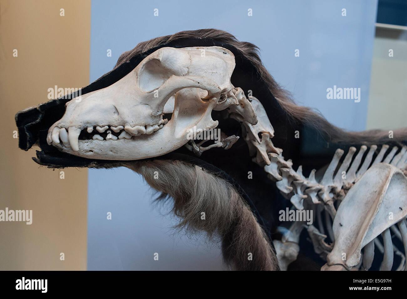 Skeleton of modern dog Canis lupus familiaris, Canidae - Stock Image