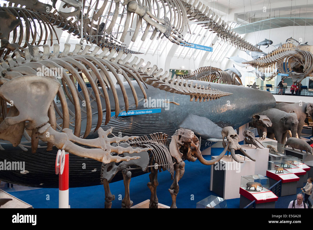Mammals room of the London Natural History Museum, GB - Stock Image