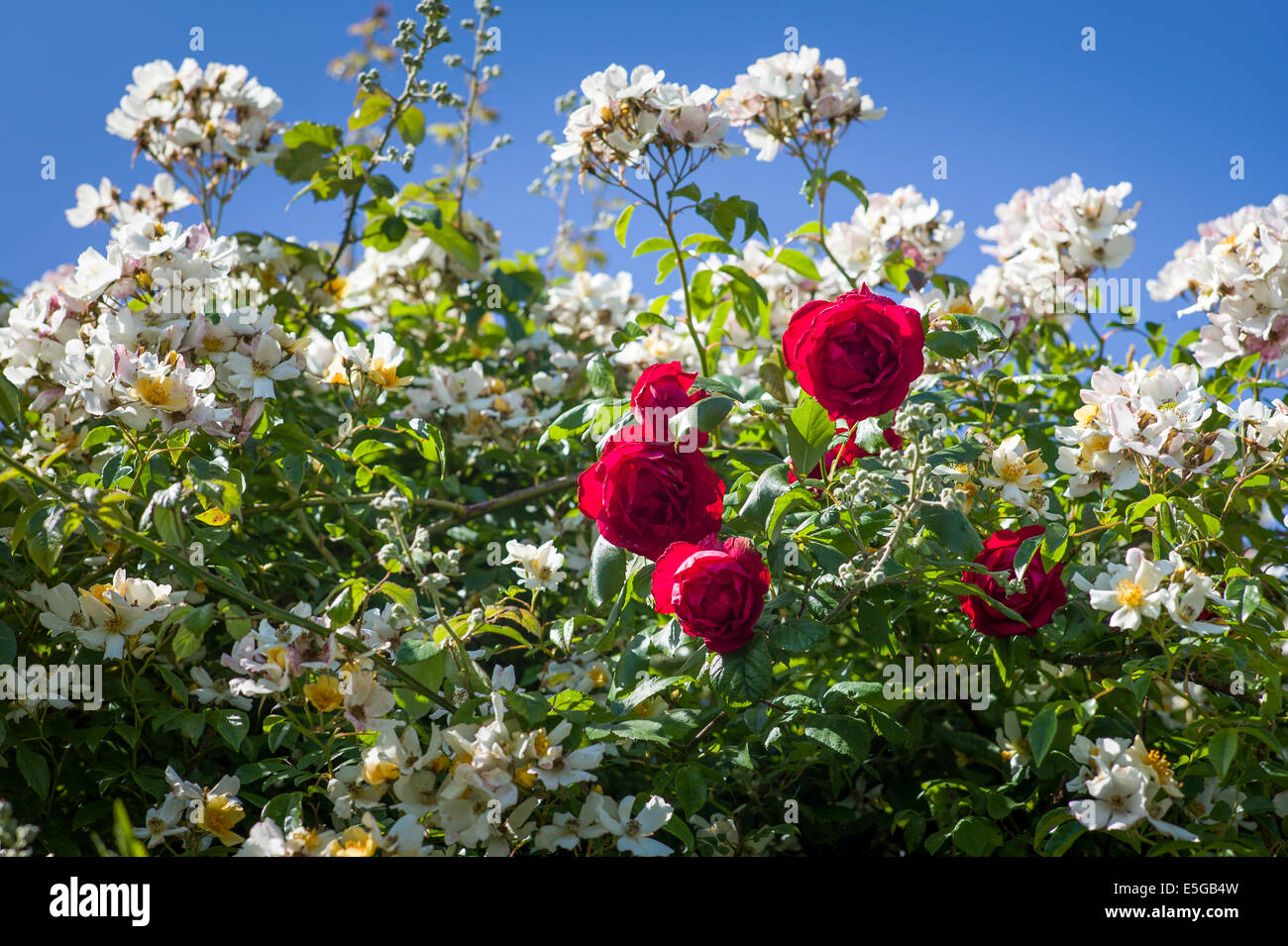 Rosa 'Wedding Day' and Rosa 'Danse de Feu' growing together in UK - Stock Image