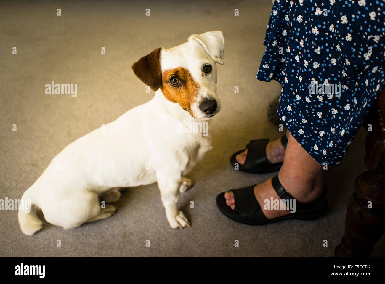 An alert Jack Russell dog at the feet of a woman indoors - Stock Image