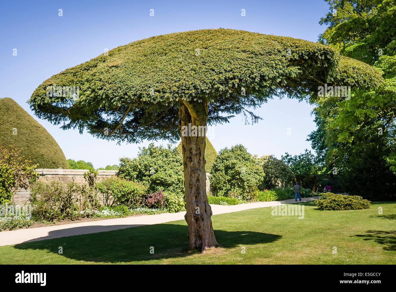 Umbrella shape small yew tree in a stately home garden - Stock Image