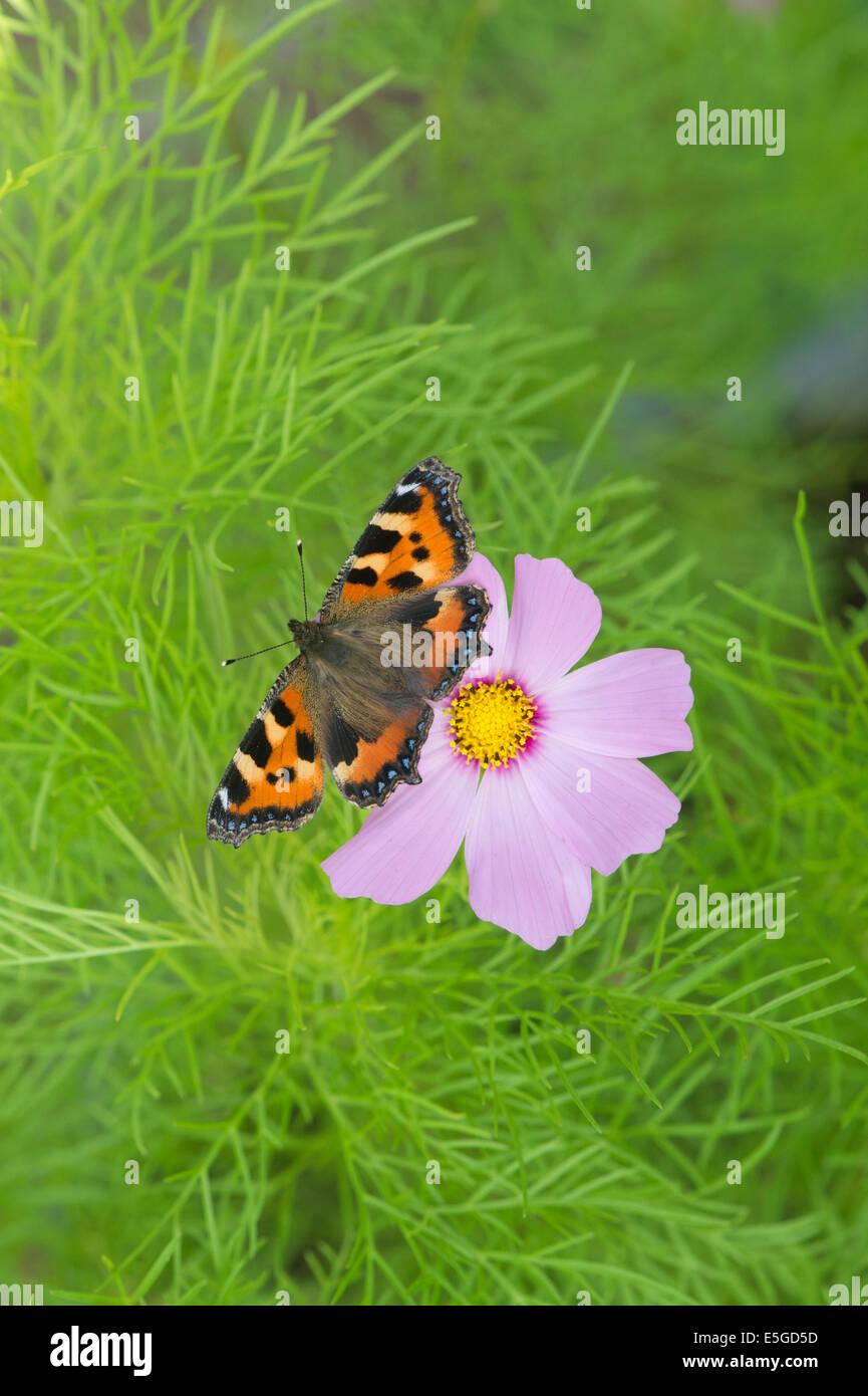 Small tortoiseshell butterfly on Cosmos bipinnatus flower english garden - Stock Image