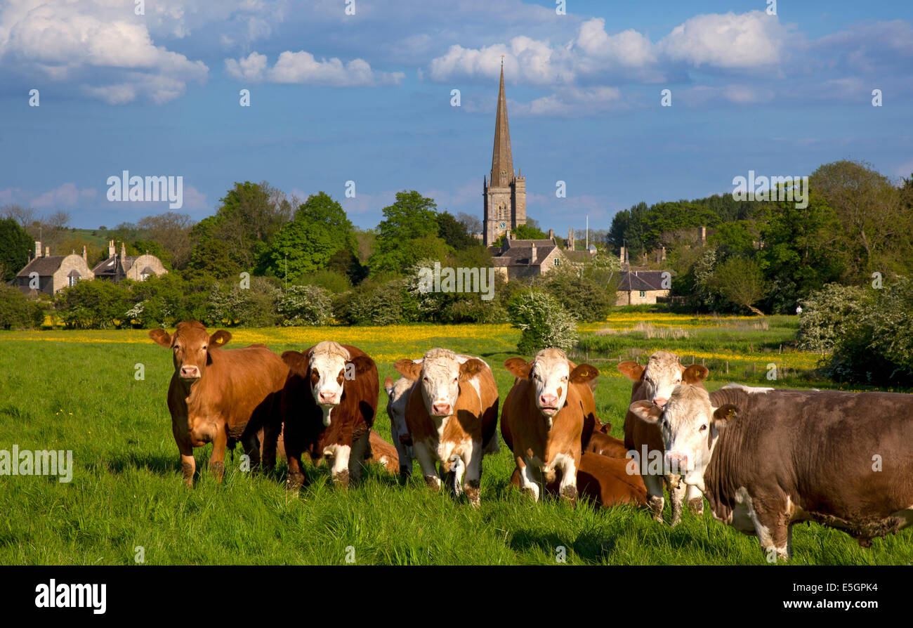 Cattle in meadow with village of Burford in the background,Cotswolds,England - Stock Image