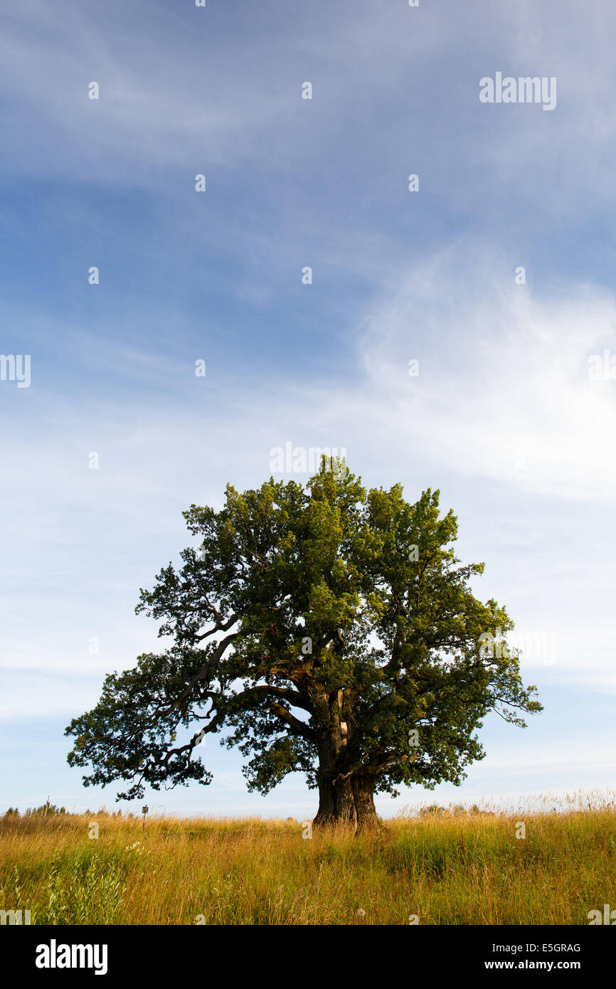 Grand oak in Urvaste, Estonia - Stock Image