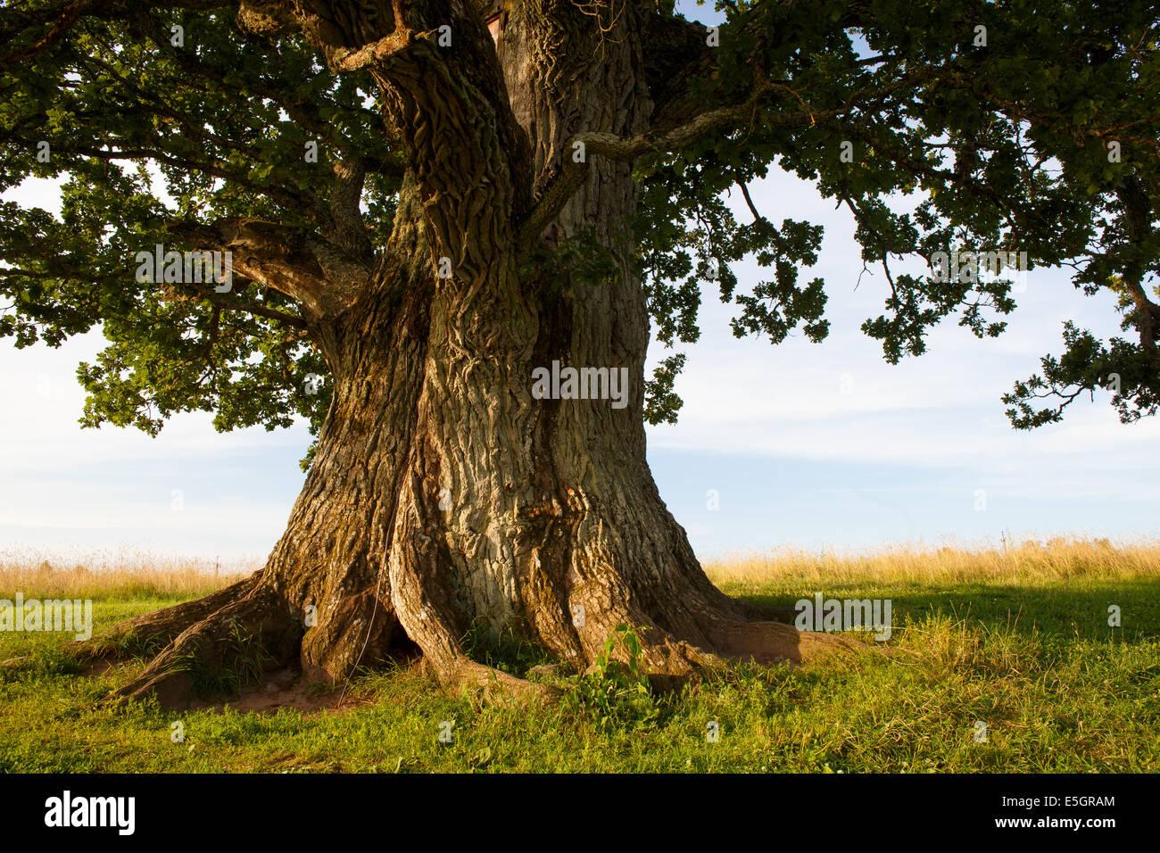 Stem of grand oak - Stock Image