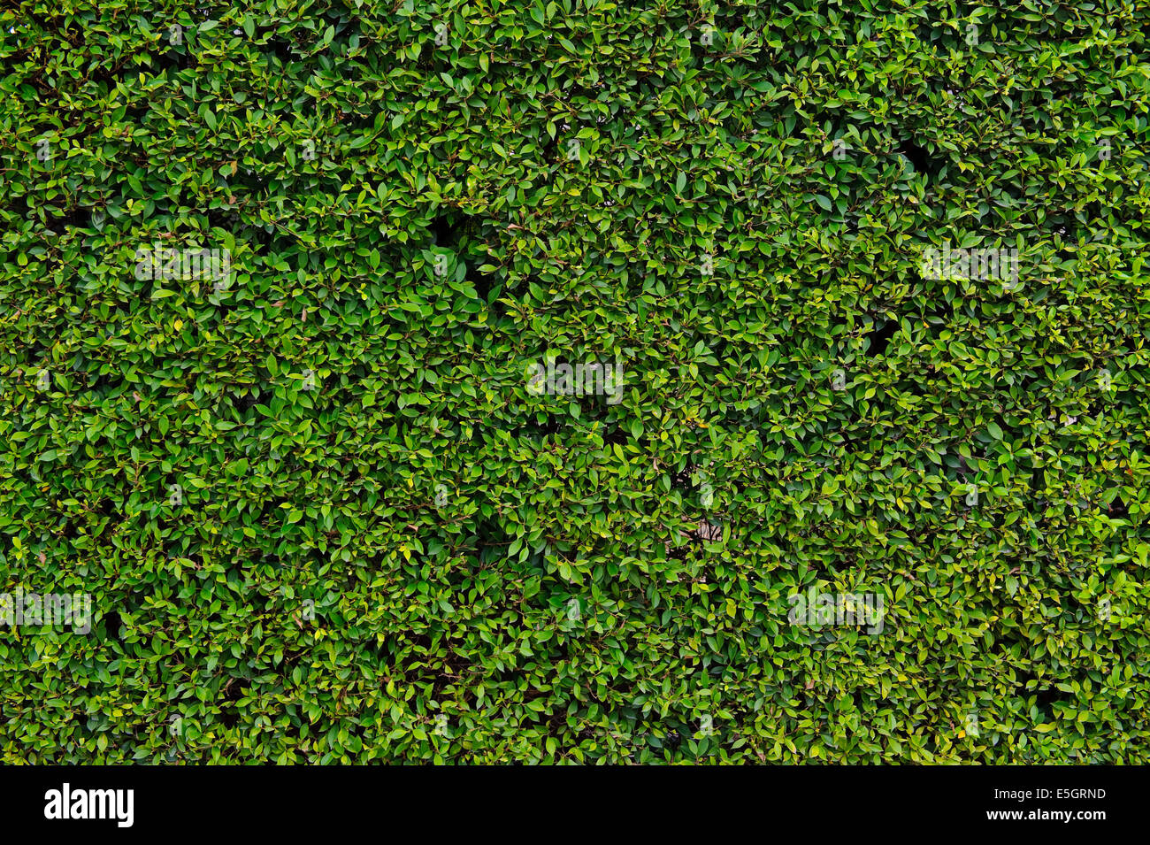 Hedge with green leafs - Stock Image