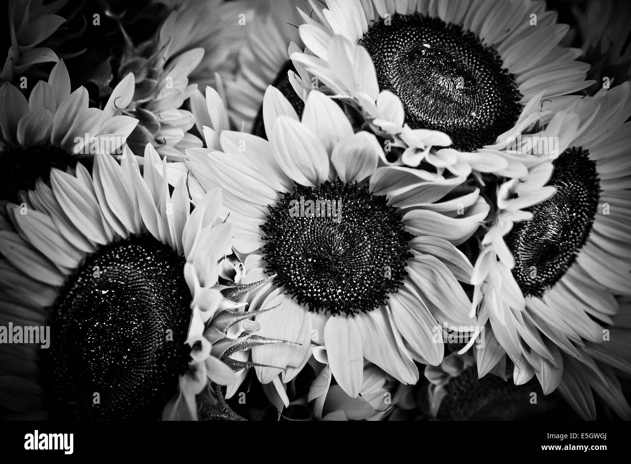 Bloomington Indiana Farmers Market Sunflowers Black And White Stock