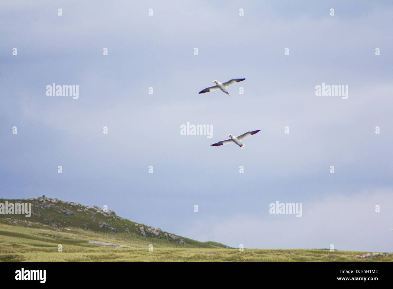 Pair of Gannets flying past Pabbay - Stock Image