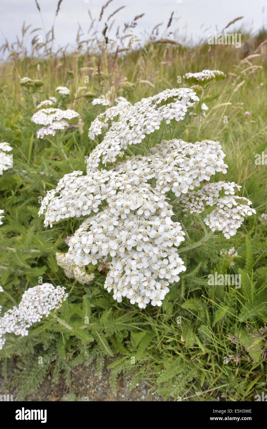 Yarrow - Achillea millefolium (Asteraceae) - Stock Image