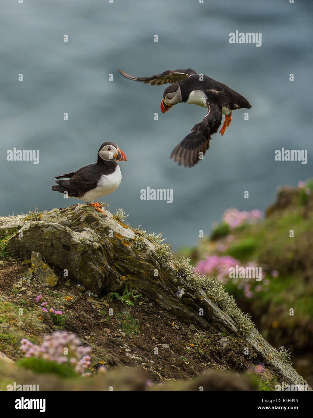 Puffins on cliff edge Stock Photo