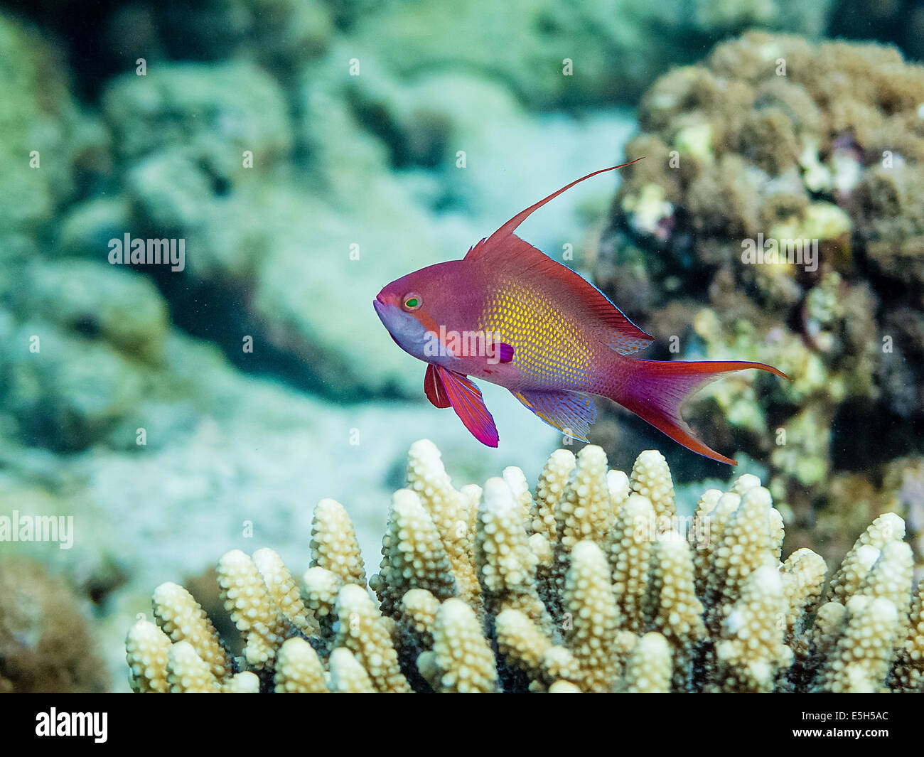 Male Anthias (Pseudanthias squamipinnis) hovering over horn corals in the Red Sea - Stock Image