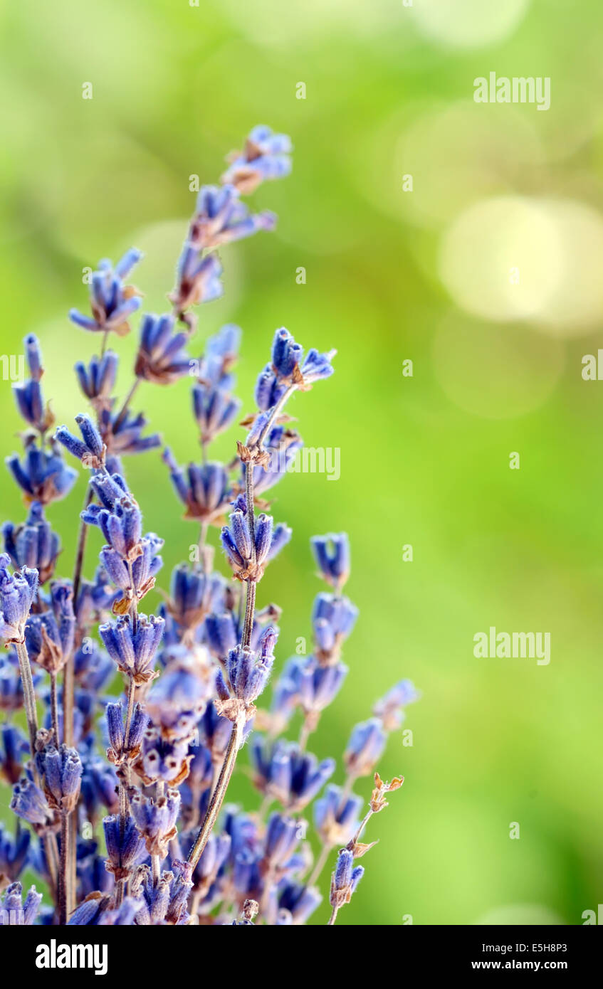Lavender herb blooming in a garden - Stock Image