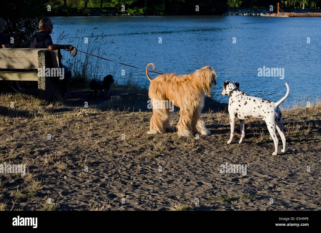 Afghan hound greets Dalmatian dog in park by a river.  Dogs socializing. - Stock Image
