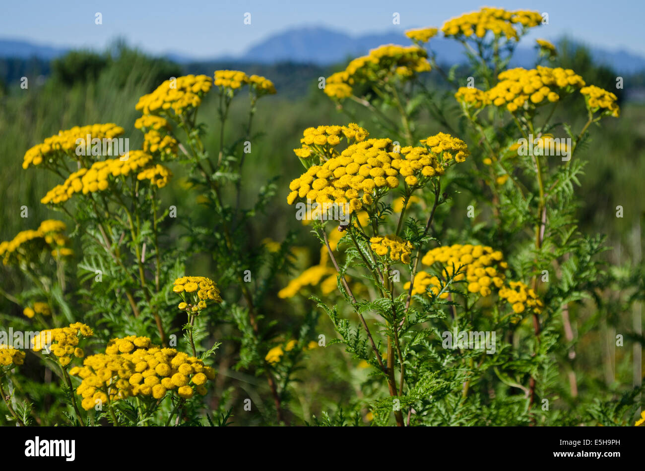 Invasive Weed Stock Photos Invasive Weed Stock Images Alamy