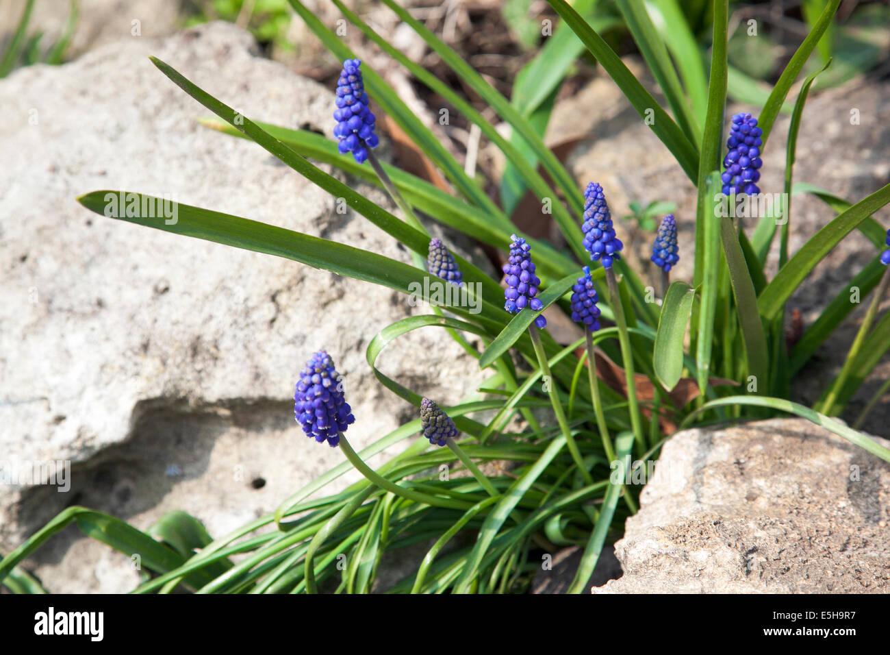 Muscari (grape hyacinths) flowers growing between rocks Stock Photo