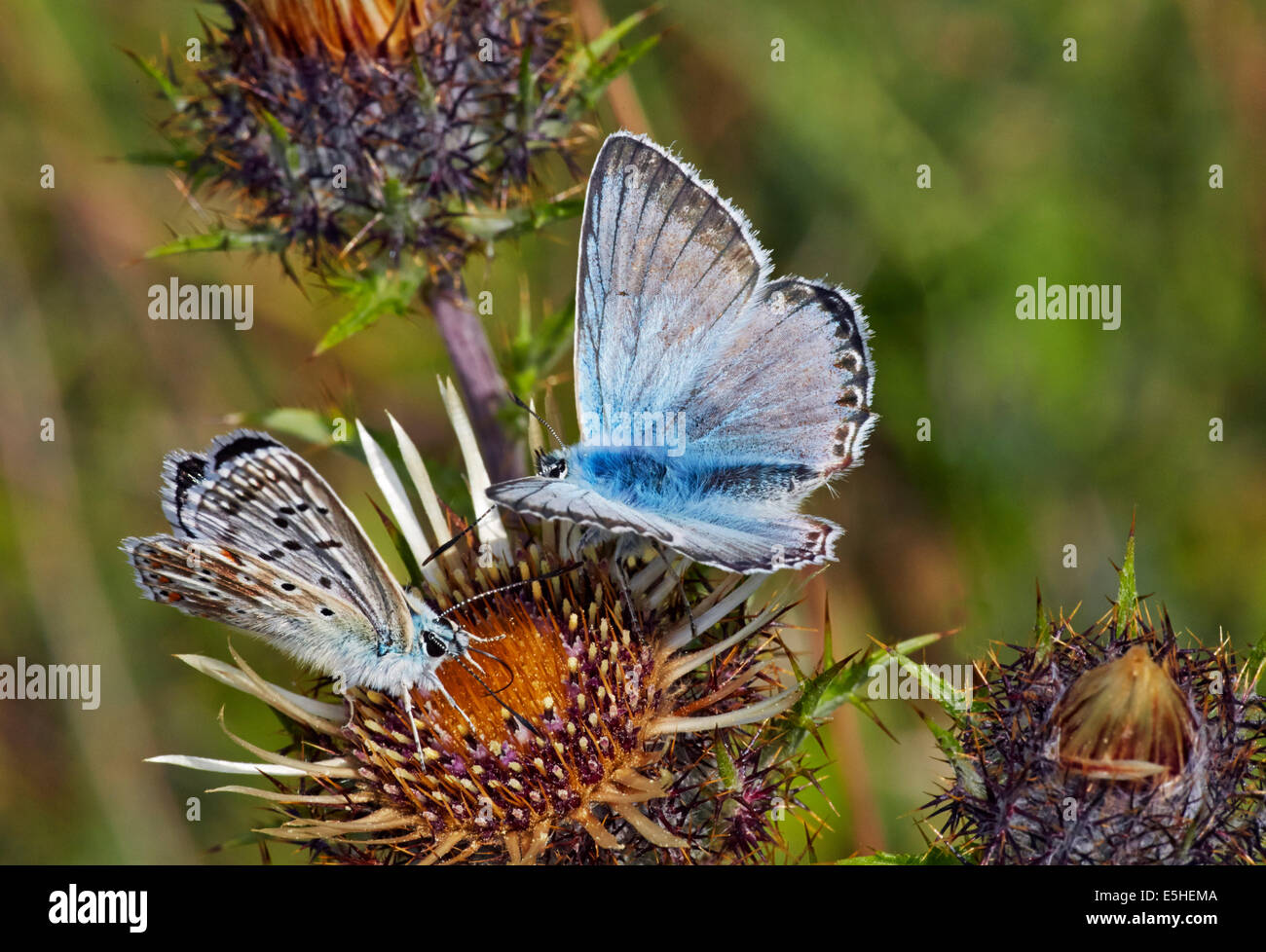 Female (left) and male Chalkhill Blue butterflies on thistle flowers. Denbies Hillside, Ranmore Common, Surrey, - Stock Image