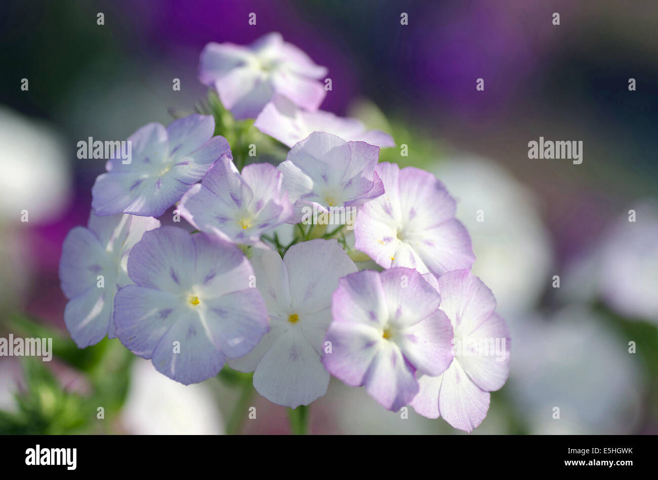 Small Flowers India Stock Photos Small Flowers India Stock Images