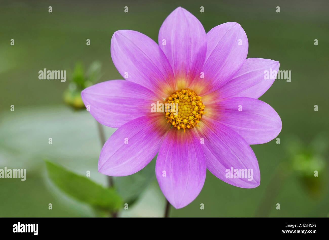 Pink Dahlia, Harish-Chandra Research Institute Campus, Allahabad, Uttar Pradesh, India - Stock Image