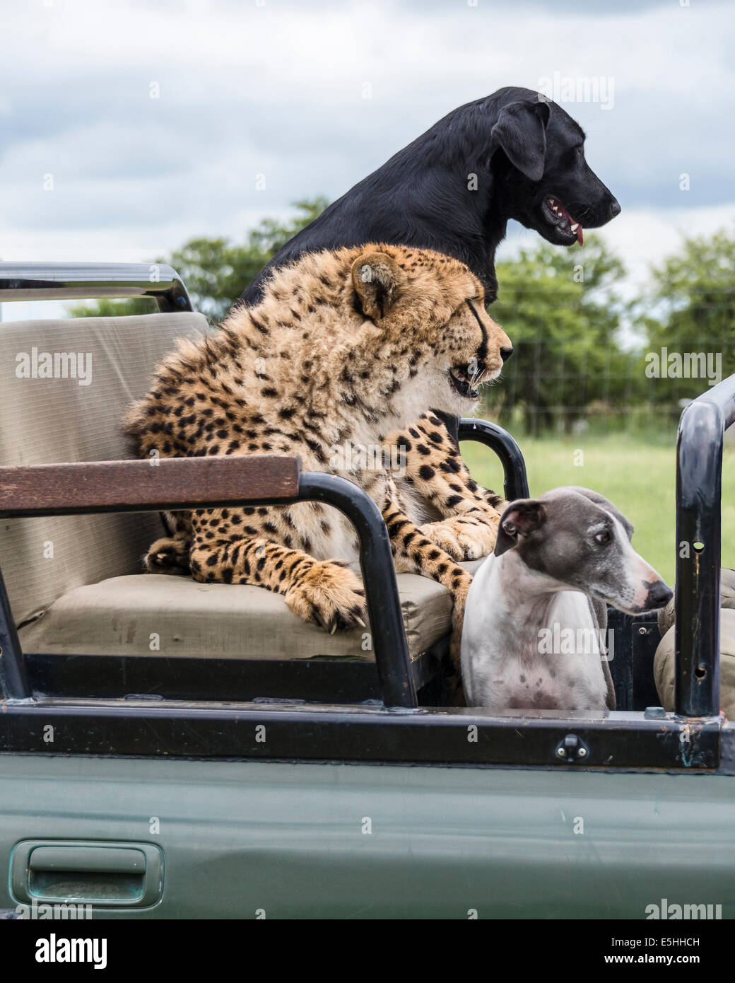 Leopard and dogs ride as passengers in jeep, Nambiti Reserve, Kwa-Zulu Natal, South Africa - Stock Image
