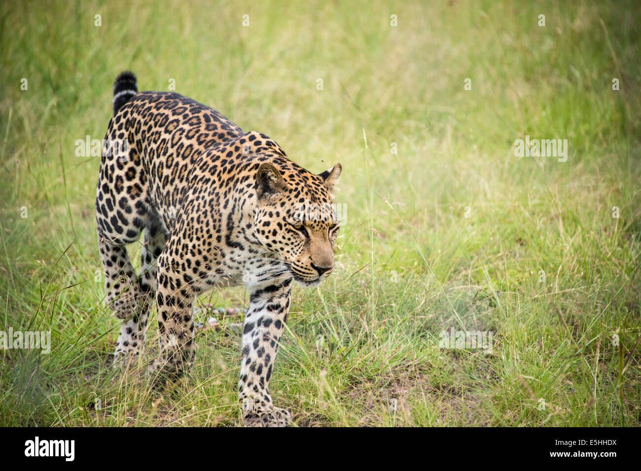 Cheetah (Acinonyx jubatus), Nambiti Reserve, Kwa-Zulu Natal, South Africa - Stock Image