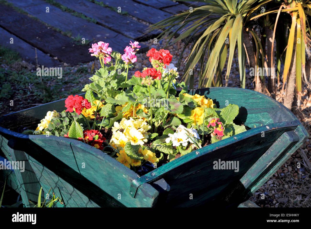 9585. Flowers in wheelbarrow, Deal, Kent - Stock Image