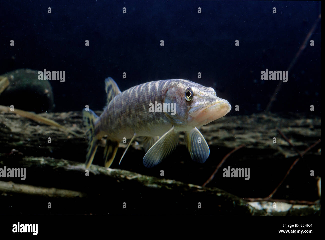 Northern Pike (Esox lucius), captive, France Stock Photo