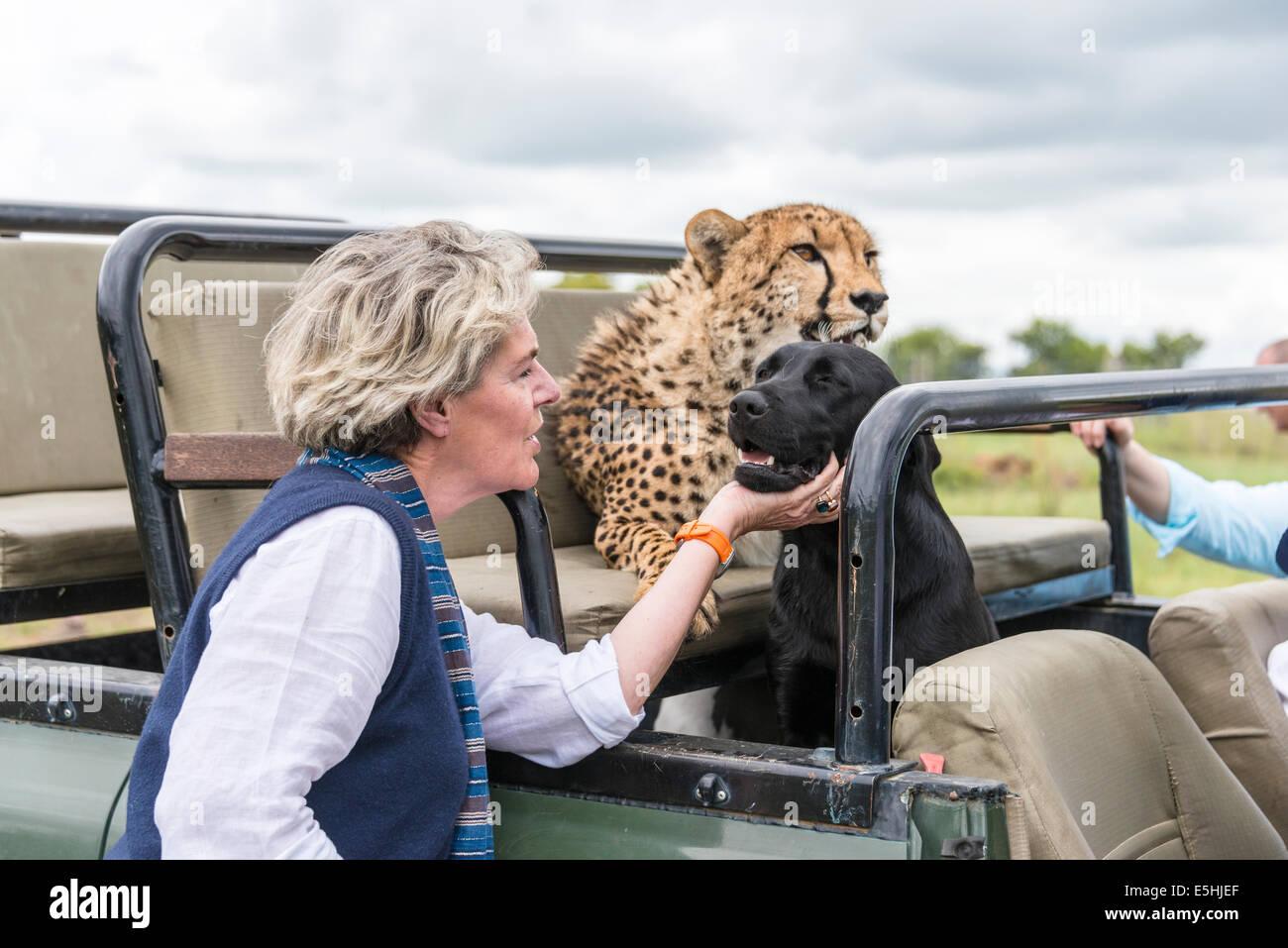 Cheetah, (Acinonyx jubatus) and dogs ride as passengers in jeep, Nambiti Reserve, Kwa-Zulu Natal, South Africa - Stock Image