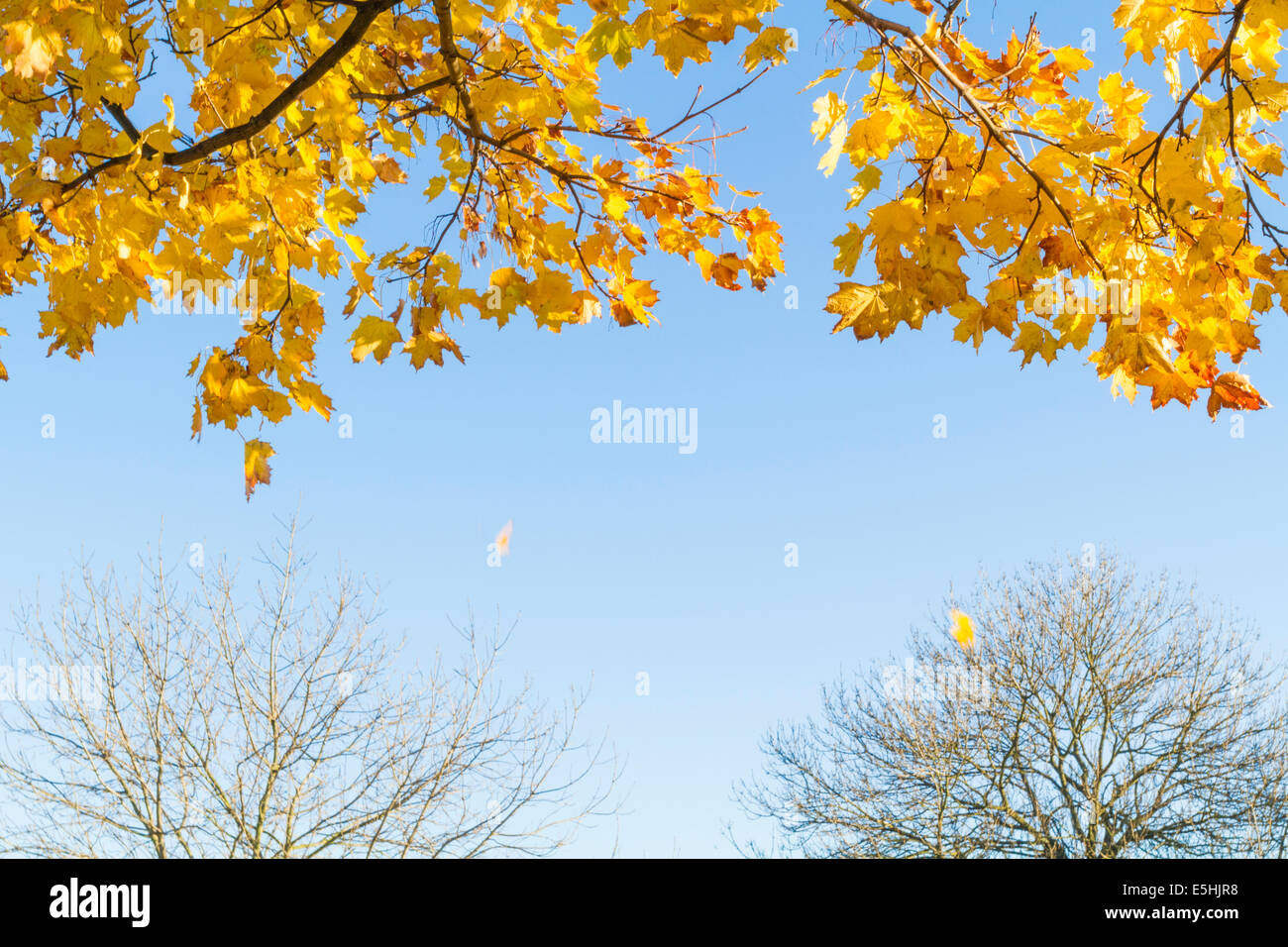Autumn leaves falling from a Norway Maple tree (Acer platanoides) with other bare trees in the background, Nottinghamshire, - Stock Image