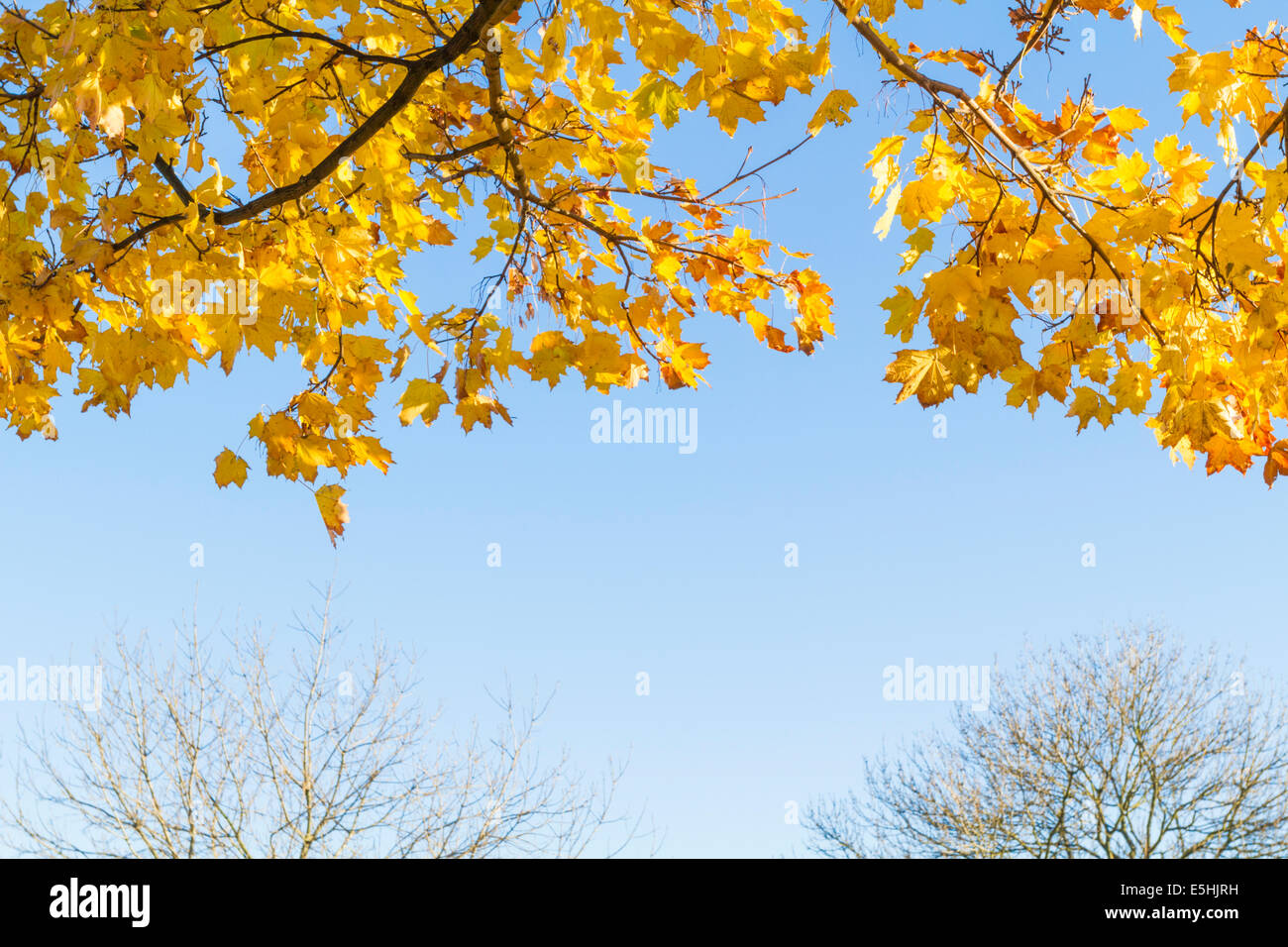 Underneath the branches of Autumn leaves on a Norway Maple tree (Acer platanoides) with other bare trees in the - Stock Image