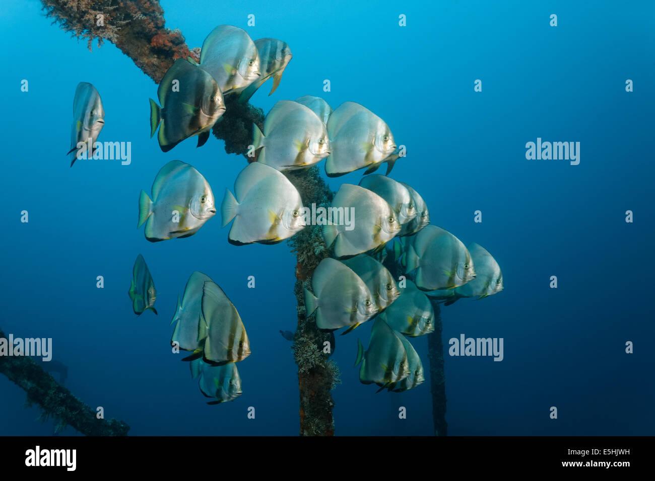 School of teira batfish (Platax teira) above the Alma Jane wreck, Sabang Beach, Puerto Galera, Mindoro, Philippines - Stock Image