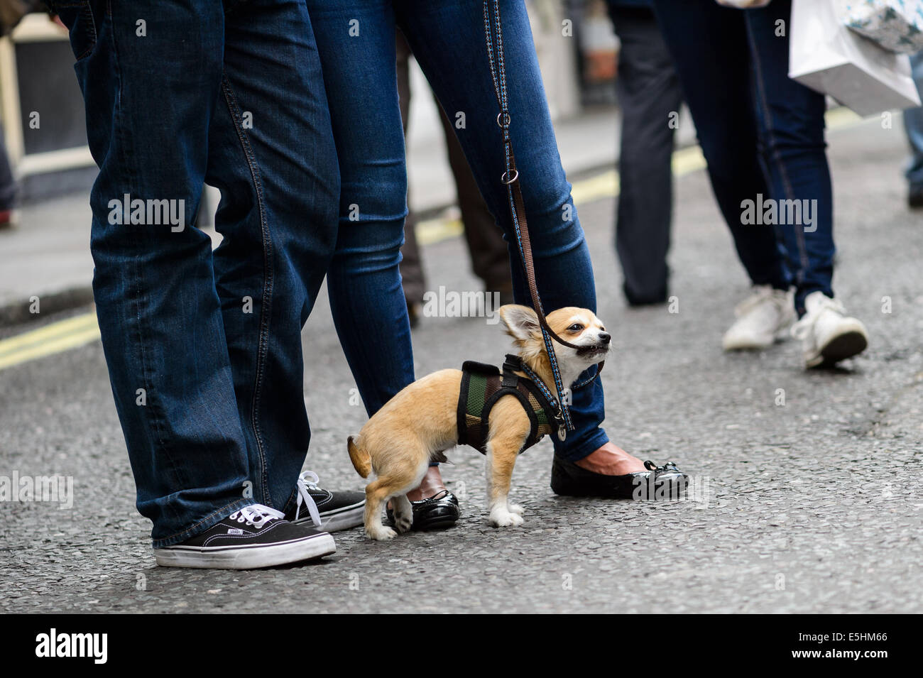 A small brown dog chihuahua chewing on its leash with its owners stood next to it on a London street. - Stock Image