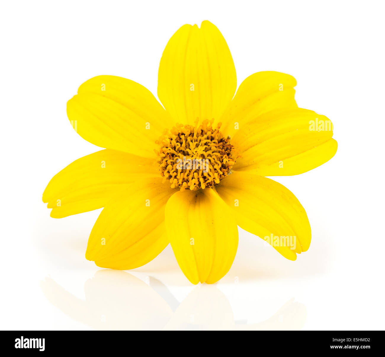 Bidens Goldilocks High Resolution Stock Photography And Images Alamy