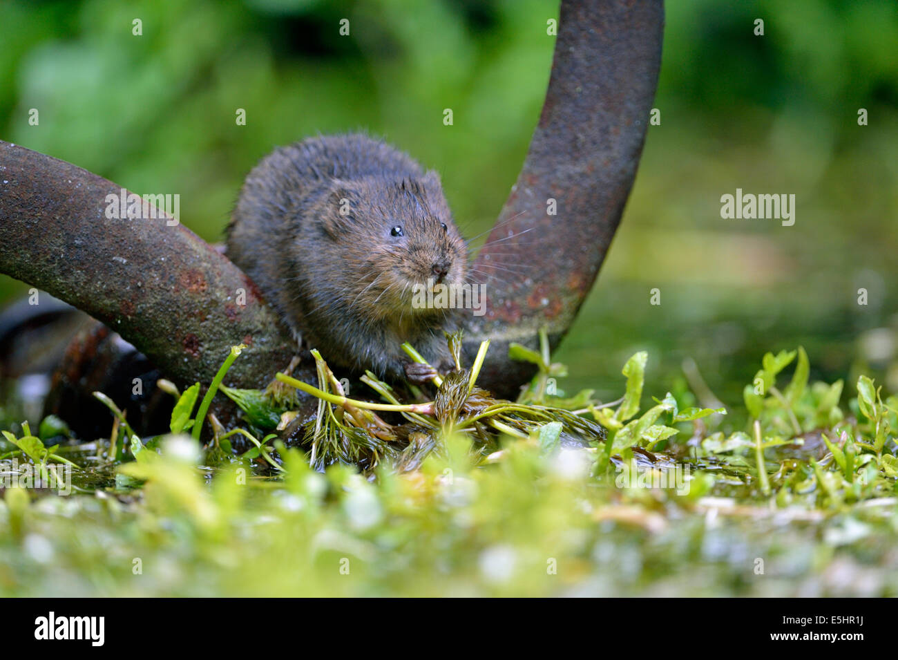 Water vole (Arvicola amphibius), UK - Stock Image