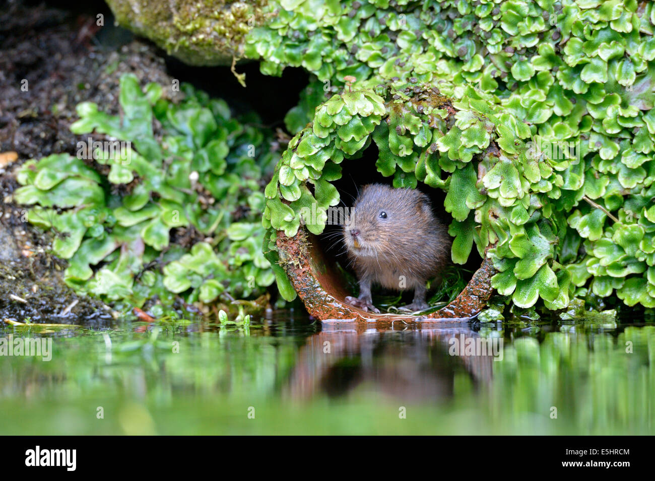 Water vole (Arvicola amphibius), UK - Stock Image