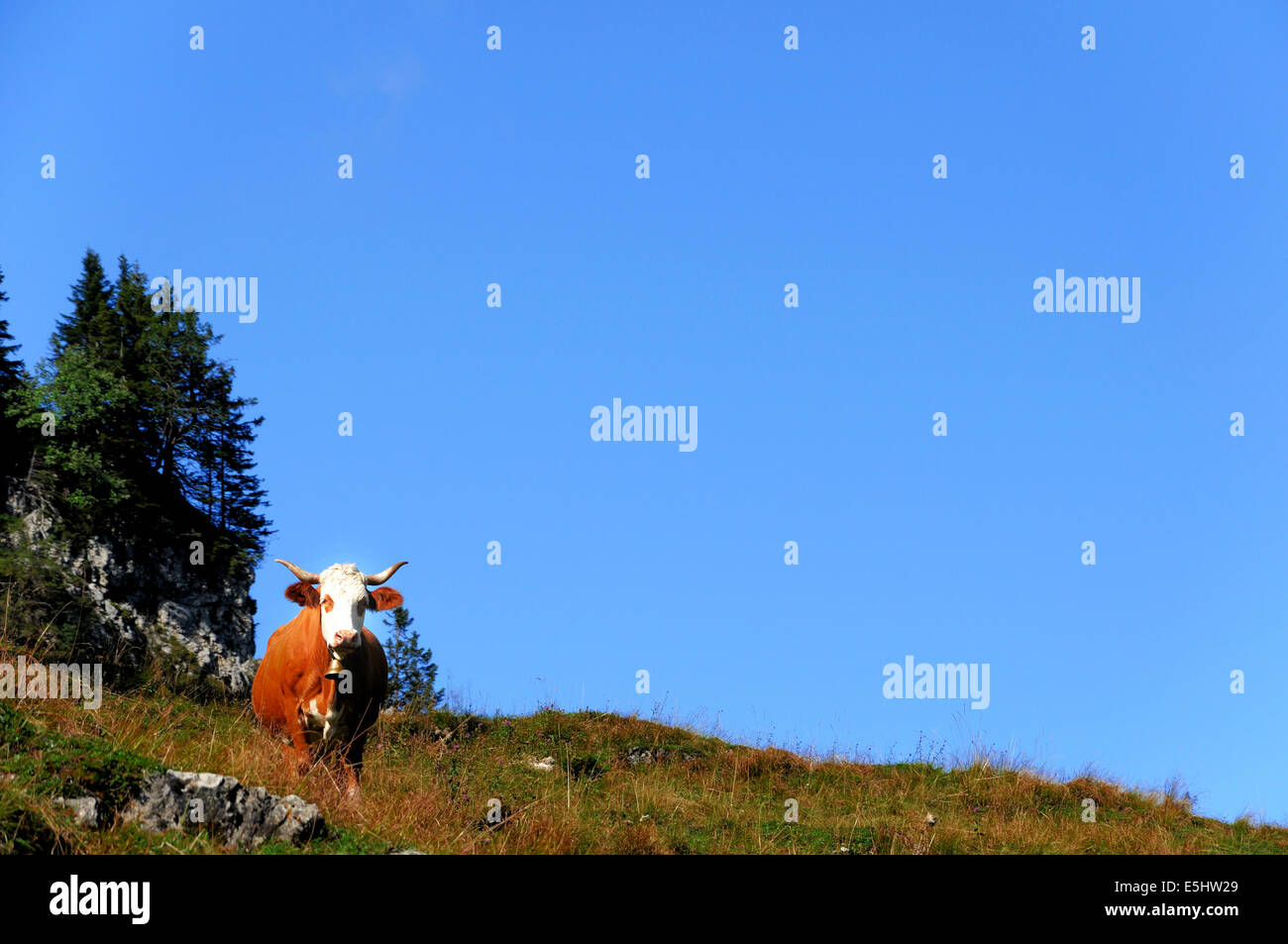 Watchful cattle in the mountains - Stock Image