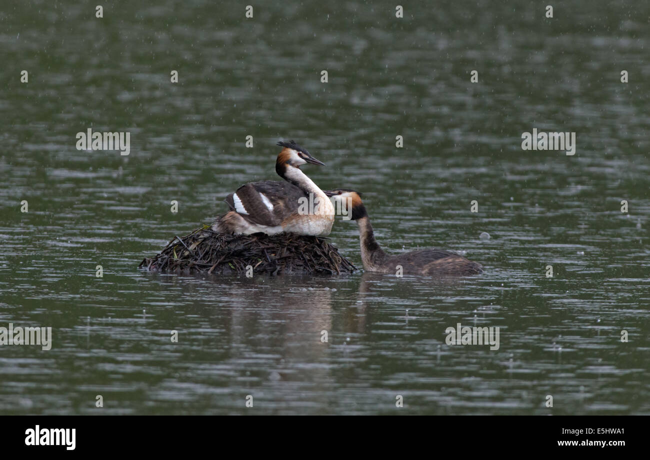 Great Crested Grebes-Podiceps cristatus, take turns to incubate eggs on nest during rainfall. - Stock Image