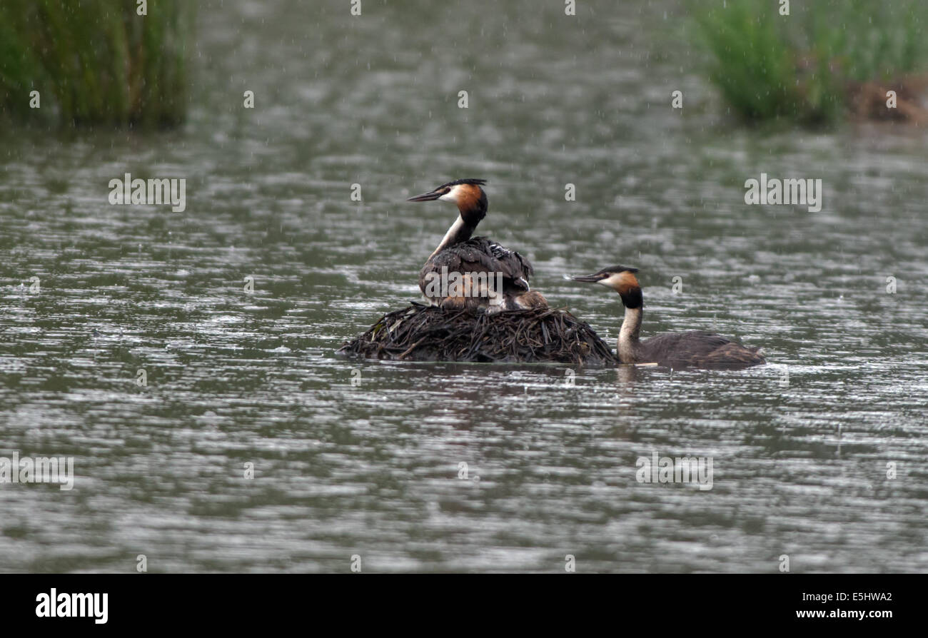 Female Great  Crested Grebe-Podiceps cristatus on nest whilst male offers newly hatched chick a feather as a gift, - Stock Image