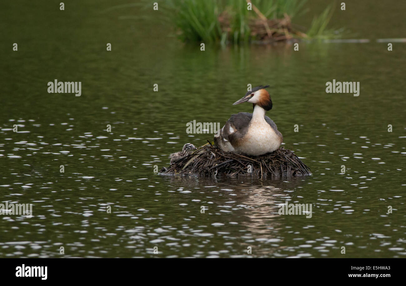 Adult Great Crested Grebe-Podiceps cristatus on nest with newly hatched chick. - Stock Image