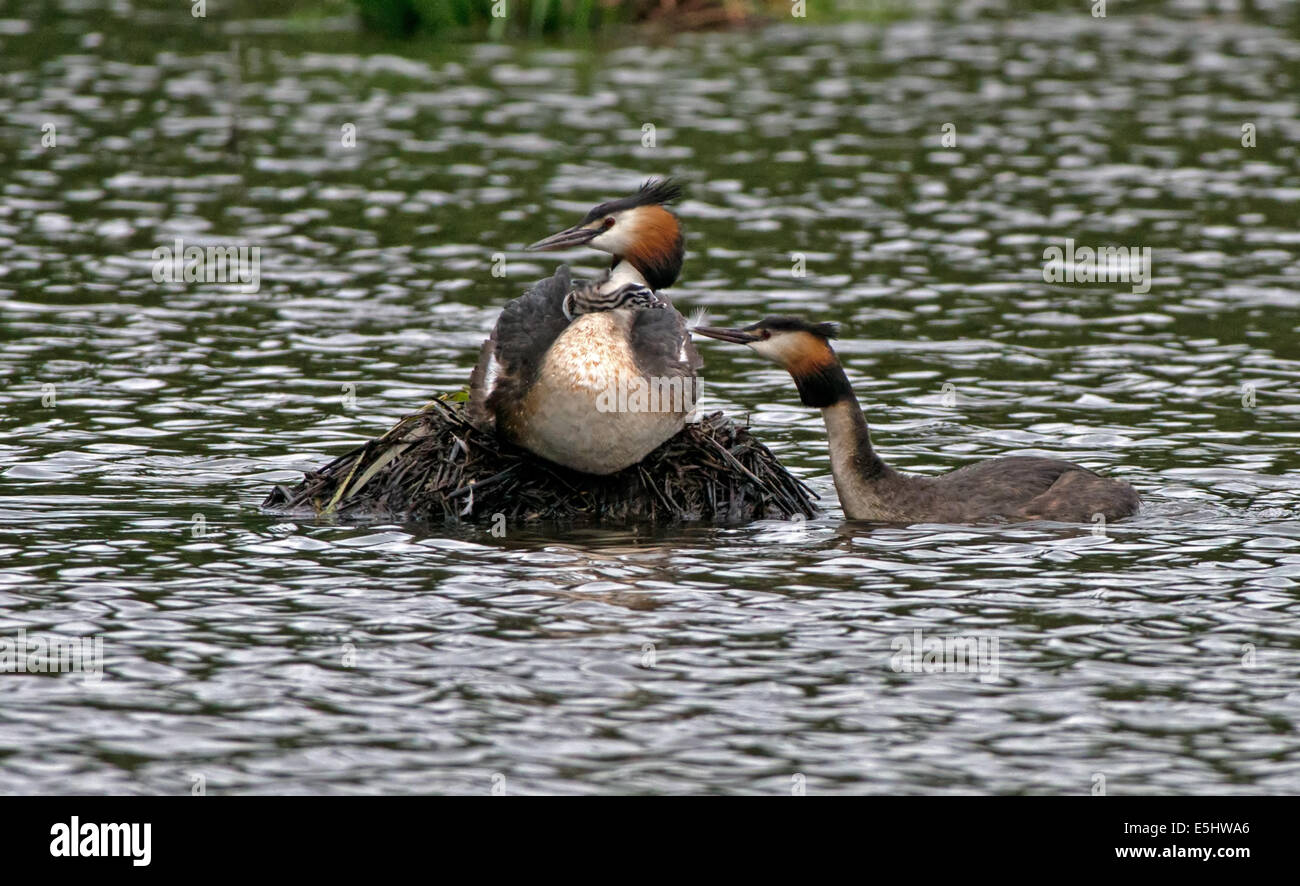 Female Great Crested Grebe-Podiceps cristatus on nest whilst male offers newly hatched chick a feather as a gift. - Stock Image