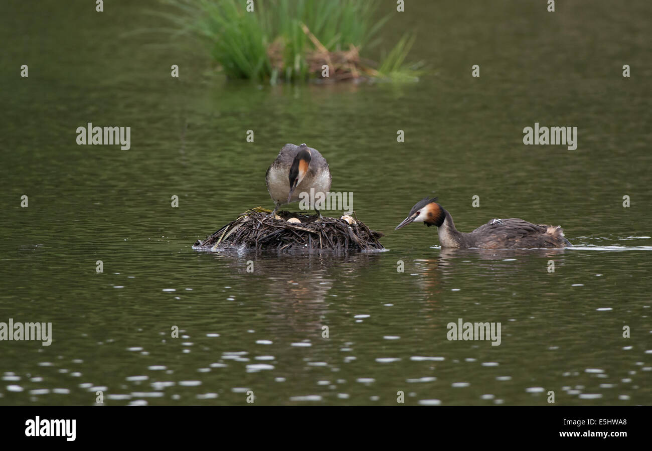 Great Crested Grebes-Podiceps cristatus, taking turns to incubate eggs on nest. - Stock Image