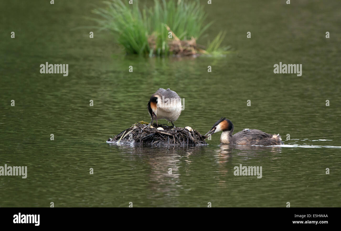Female Great Crested Grebe re-positions eggs whilst male tidies nest with newly hatched chick on back. - Stock Image