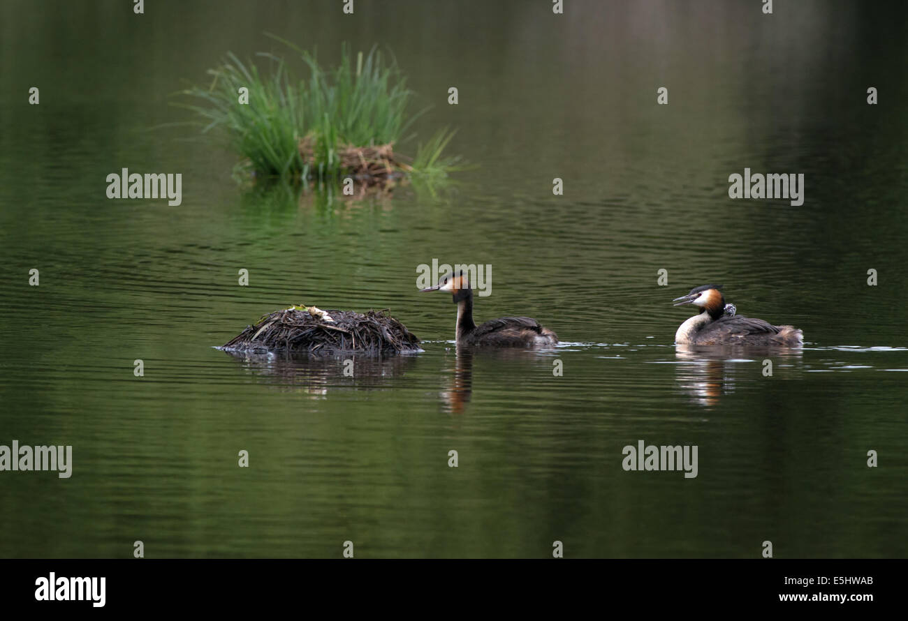Male and Female Great Crested Grebes swim towards egg laid nest with newly hatched chick on back. - Stock Image