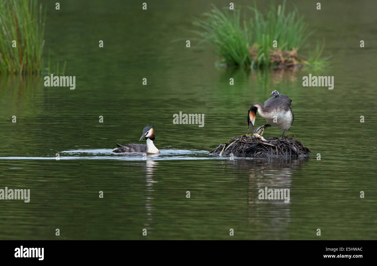 Female Great Crested Grebe removes egg shell from nest with newly hatched chick on back whilst Male swims near. - Stock Image