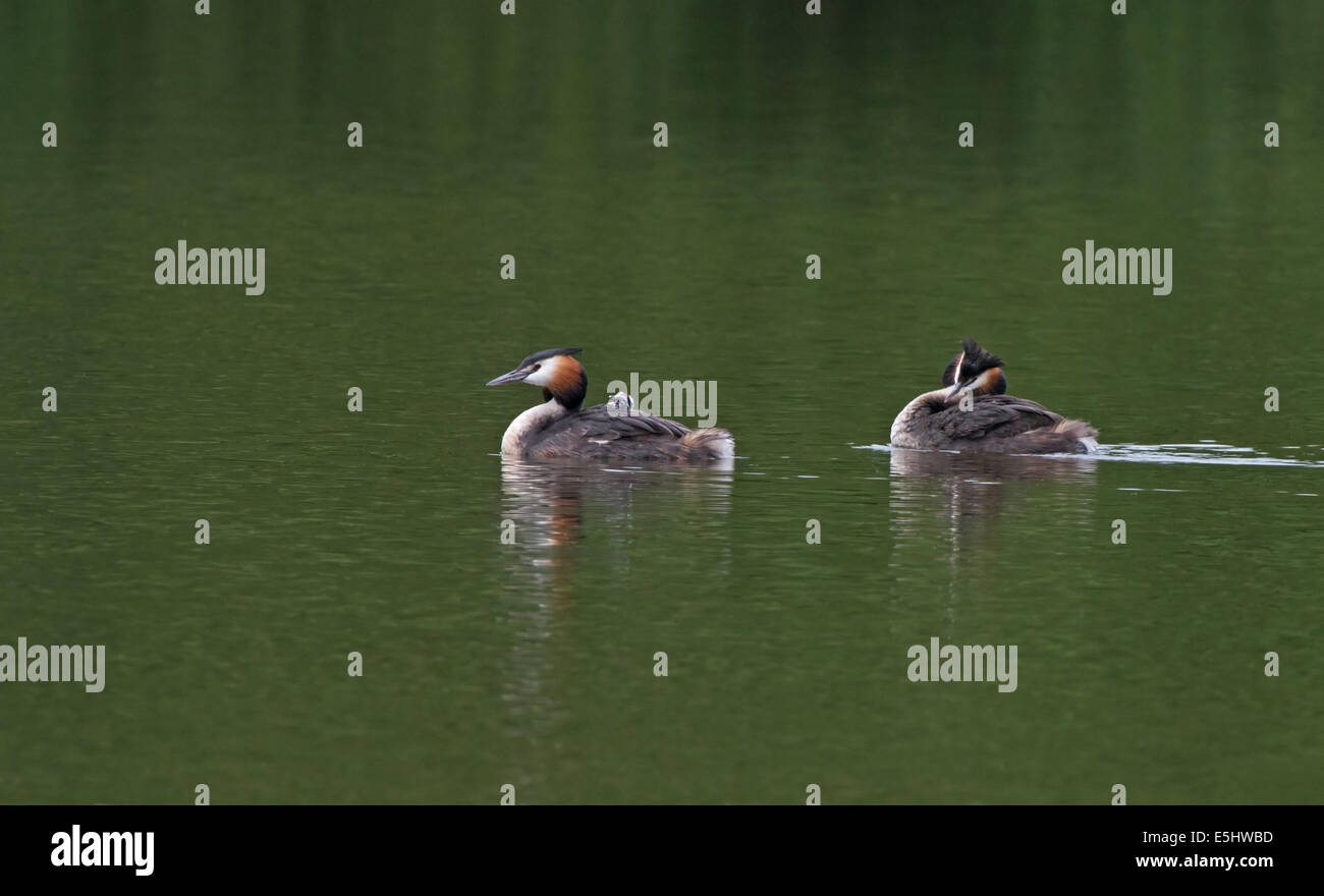 Male and Female Great Crested Grebes swim with newly hatched chick on back. - Stock Image