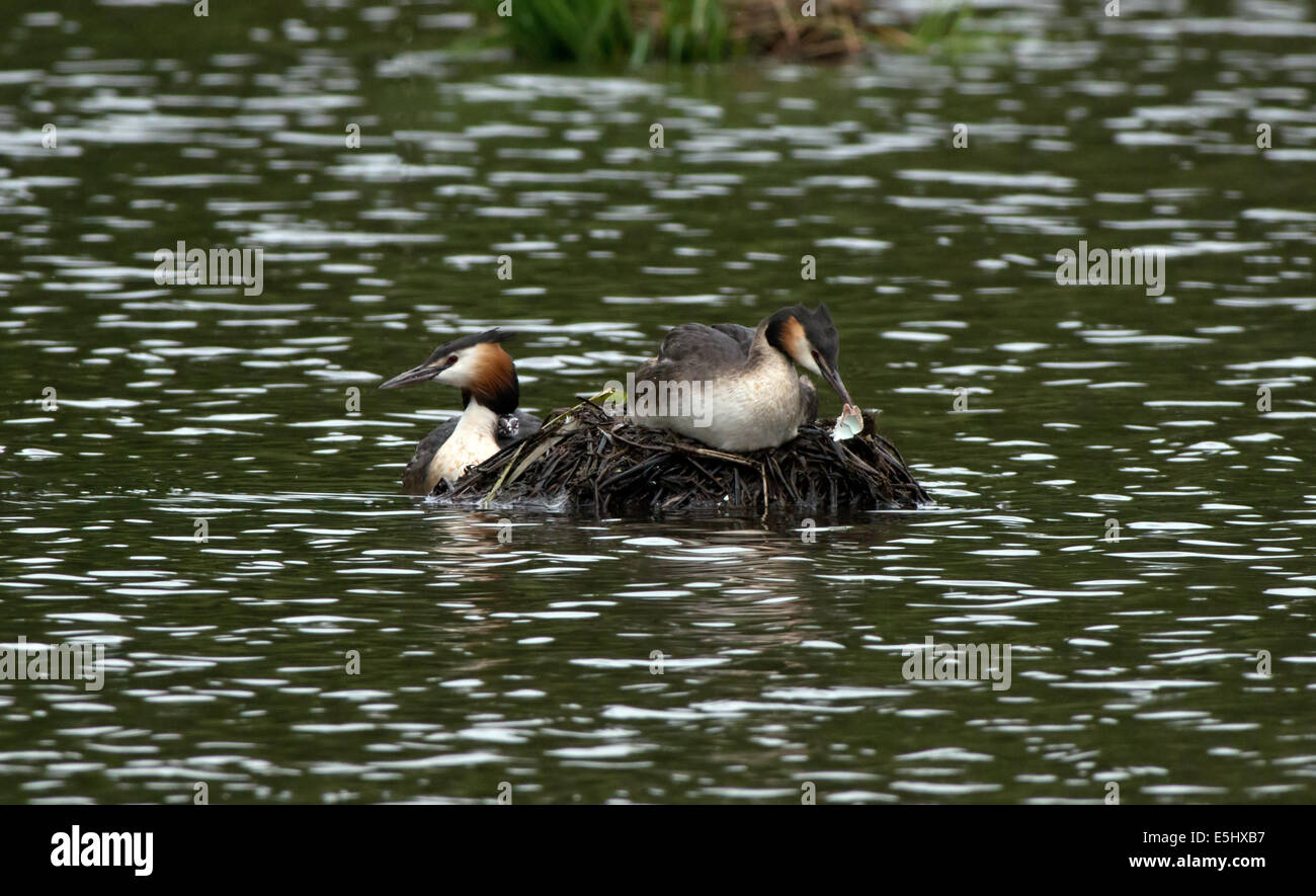Female Great  Crested Grebe-Podiceps cristatus on nest removes egg shell whilst male swims near with newly hatched - Stock Image