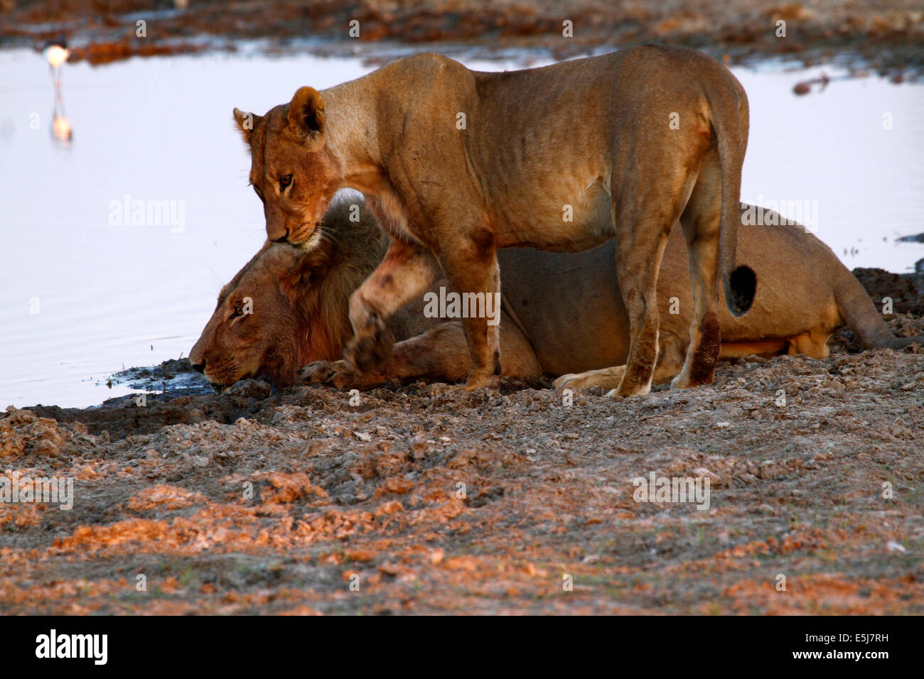 A pride of lions in Botswana, South Africa drinking Stock Photo