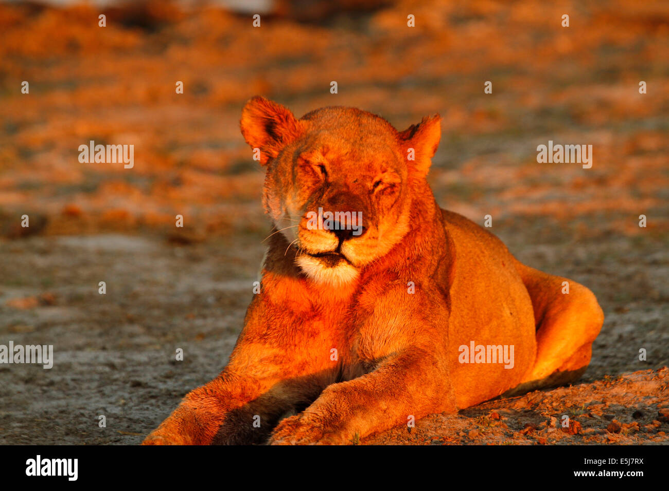 A pride of lions in Botswana, South Africa, snoozing lioness, big cat one of Africa's big five Stock Photo