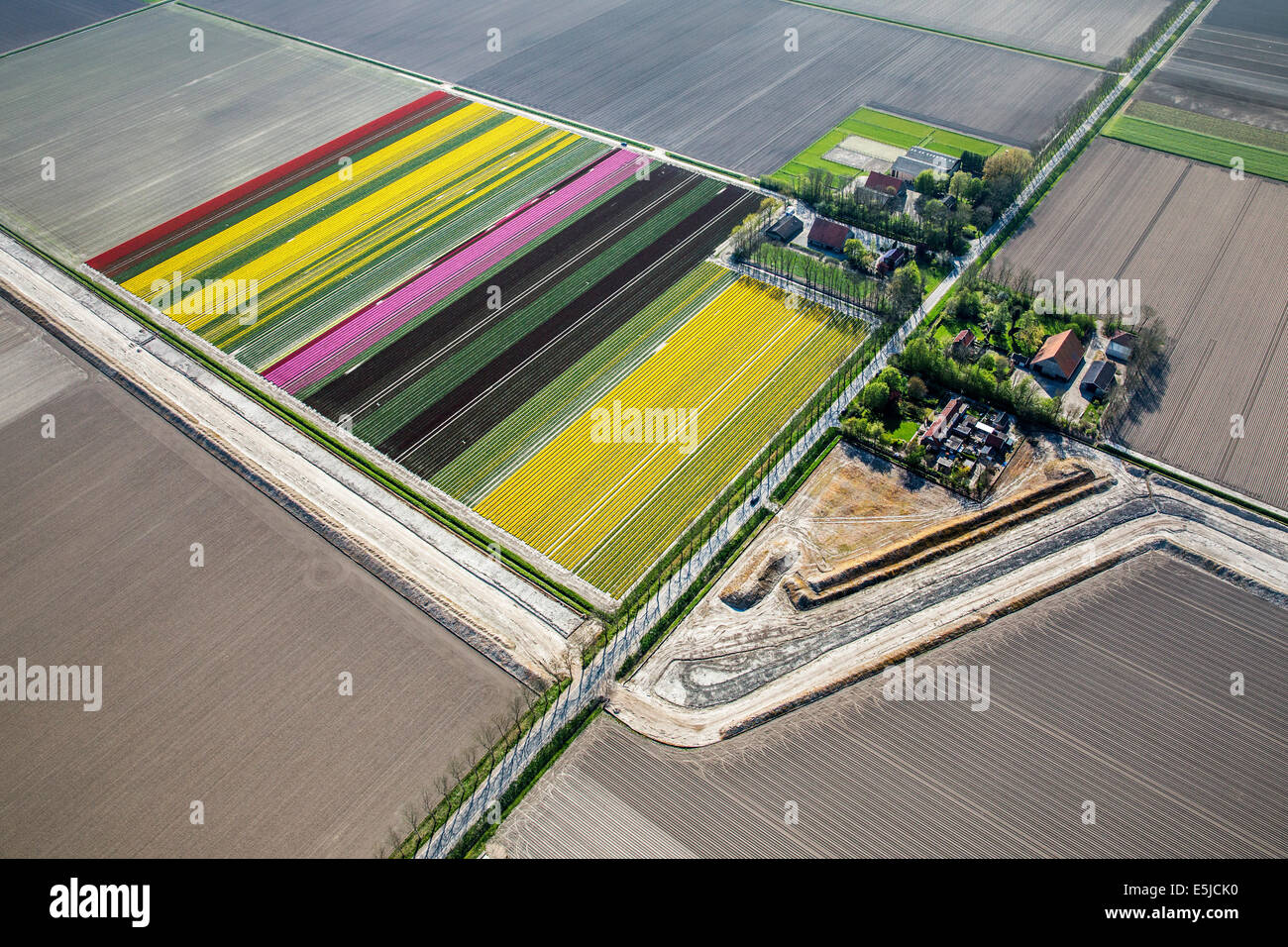 Netherlands, Nagele, Farms, farmland and flowering tulips. Aerial - Stock Image