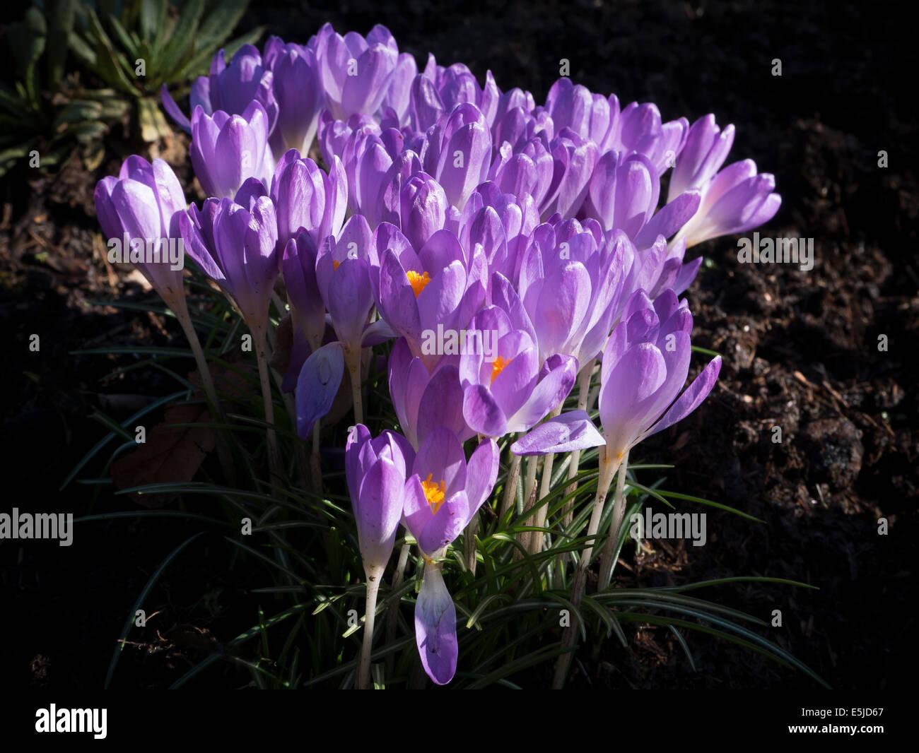 Crocus garden flowers, Crocus sativus - Stock Image
